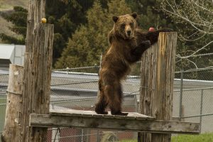 A bear stands on his hind legs to grab an apple off a pole.
