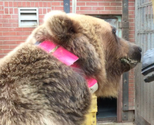 A grizzly bear with a bright pink energy monitoring collar around its neck.