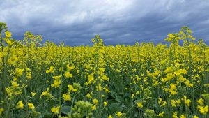 Picture of a bright yellow northwest canola field.