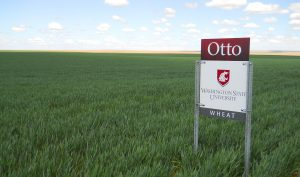 "A WSU sign marks the ""Otto"" variety in a field of green wheat."