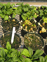 Healthy spinach next to infected plants, in pots.