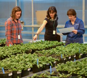 A trio of scientists inspect rows of potted spinach plants.