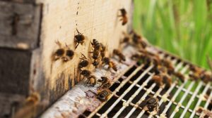 Honey bees crawling around on a box, some with yellow bumps of pollen attached of them.