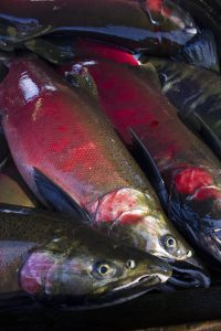 Several coho salmon laying together out of water.
