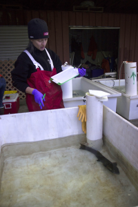 A woman in red overalls with purple gloves on holds a clipboard and pen, looking down into a tank of water with a chum salmon swimming around in it.