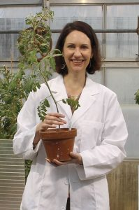 Cynthia Gleason with experimental tomato plants in a WSU greenhouse.