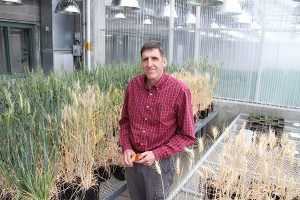 Scot Hulbert stands with experimental plants inside a WSU greenhouse.