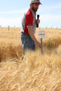 Holding a microphone for a field tour, Kevin Murphy inspects barley growing in a test field plot.