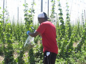 Adekunle Adesanya holds a plastic bag against a hop vine and shakes mites into the bag.