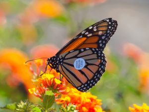 A Monarch butterfly sits on an orange flower, a silver circle is prominent on the wing. The circle has an email address and a number on it.