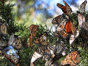 Over a dozen Monarch butterflies sit in a tree grouped together. One of them has a silver circle on its wing, a tag from the WSU study.