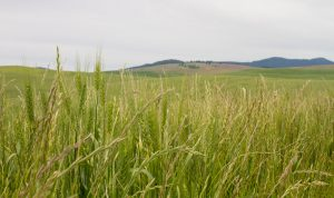Close up of green wheat plants with a rolling mountain in the background.