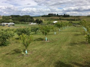 Wide shot of the organic farm, with cherry trees from the orchard in the foreground.