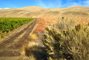A field of sagebrush plants separated from a vineyard by a dirt road.
