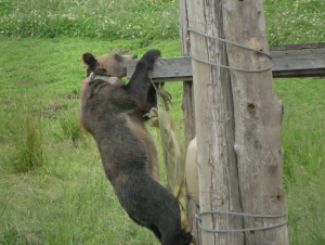 A bear hangs off the edge of a wooden play structure looking for food.