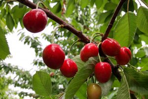Red cherries on a tree branch.