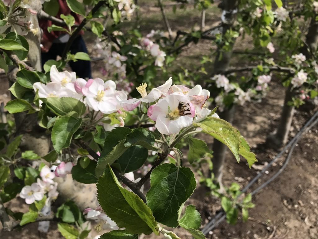 A bee lands on a pink and white apple blossom in an orchard.