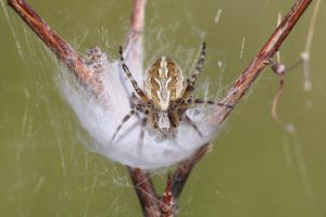 A brown-colored, spotted spider sits on a wisp of silk, on top of a woody stem