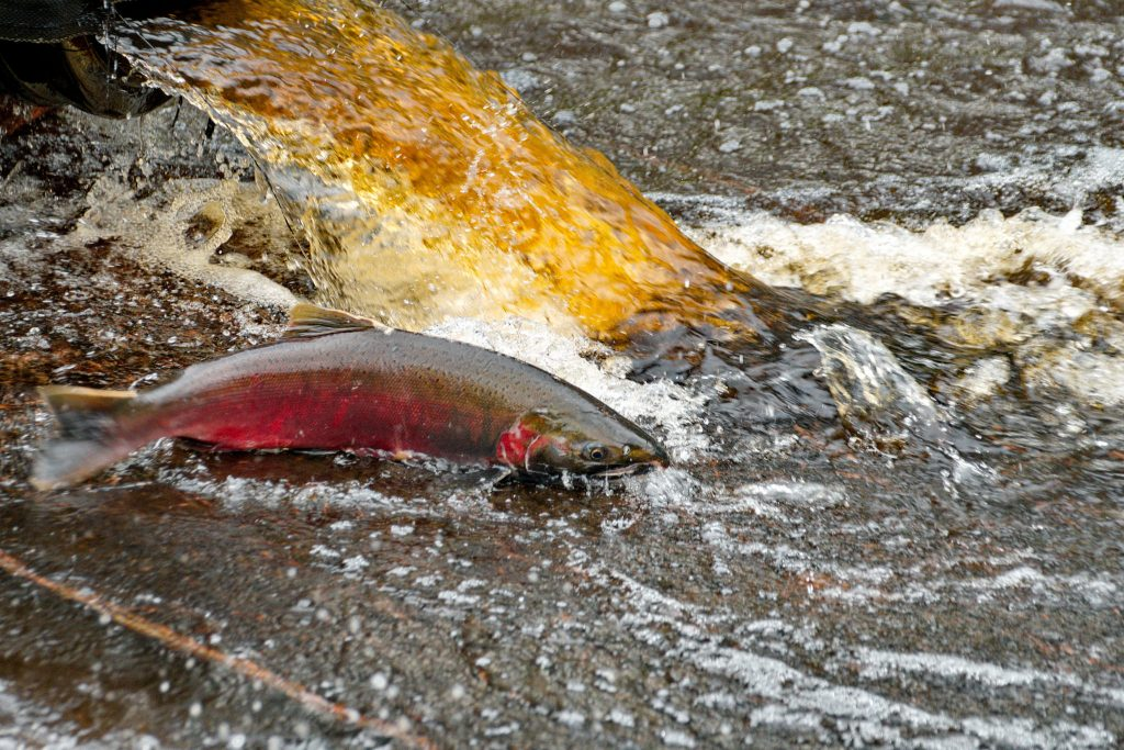 A red-colored salmon swims in discolored urban waters.