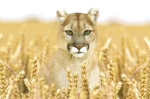 Illustration of a Cougar in a ripe wheat field