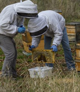 Two people shake a rectangular hive covered in bees over a plastic bin. They're collecting the bees that fall off for further testing.
