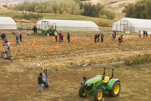 A high vantage point shot of the pumpkin patch, with people wandering around in it and two tractors visible nearby.