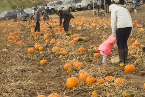 Lots of pumpkins are on the ground, as a mom and little girl bend down to pick one out.