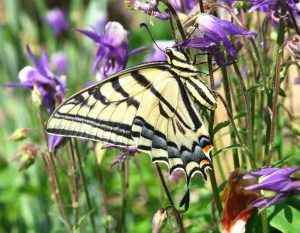 Image of a tiger swallowtail butterfly amid purple flowers.