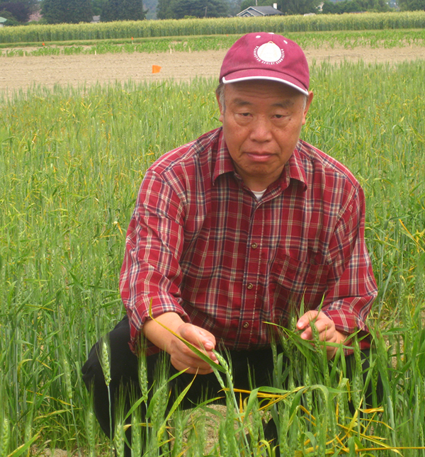 Red hatted Chen, crouching in a field of young wheat plants, showing their leaves.