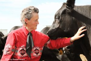 Grandin, in red western shirt, by the side of a cow.