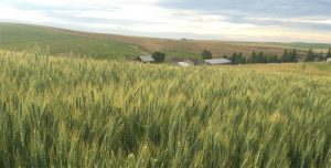 A field of wheat, with a farm in the background.