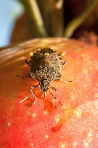 Stink bug atop an orange vegetable.