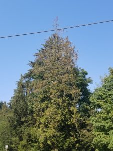 A tall tree with many dead or withered limbs.
