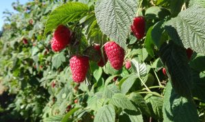 Raspberries growing on canes.