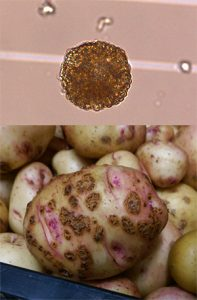 Composite image with microscope image of spore ball and potato with brown galls.