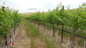 Full-leafed grape vineyard set up with a drip irrigation system, with vertical pvc pipes drilled into the ground at root source.