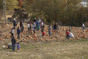 Several families mill about a pumpkin patch, with pumpkins all over the ground. Some people carry pumpkins, some are looking them over.