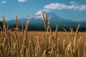 Wheat field with a snowcapped mountain in the distance