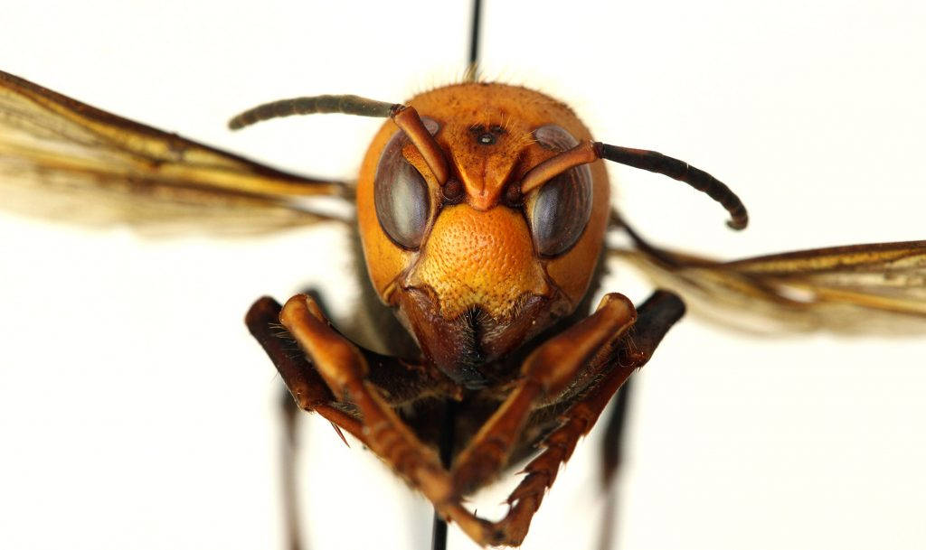 Close up of hornet specimen's face and body