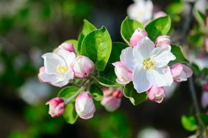 Apple tree with spring flowers on a natural background.