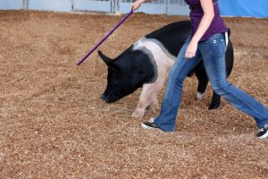 Stock image of a woman walking next to a pig using a stick to guide the pig in a fairgrounds arena.