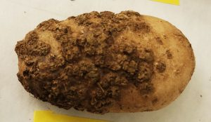 Potato mostly covered with brown, scabby blemishes.