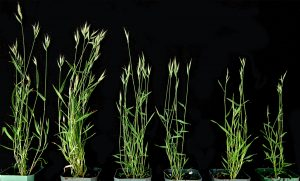 Illustration of six grass plants, becoming shorter and smaller toward the right.