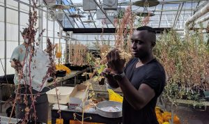 Habiyareme, in foreground, and another lab member in background, harvesting seeds from quinoa plants in greenhouse.