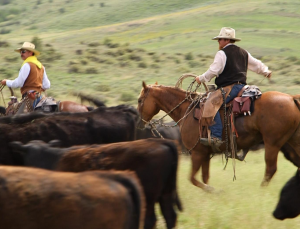 Mounted cattle ranchers move cattle in the field