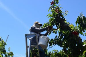 A farm worker wearing a mask picks cherries from the top of a cherry tree.