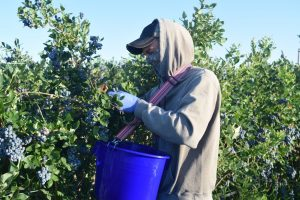 A WSU worker harvests blueberries at a commercial plot during a field trial.