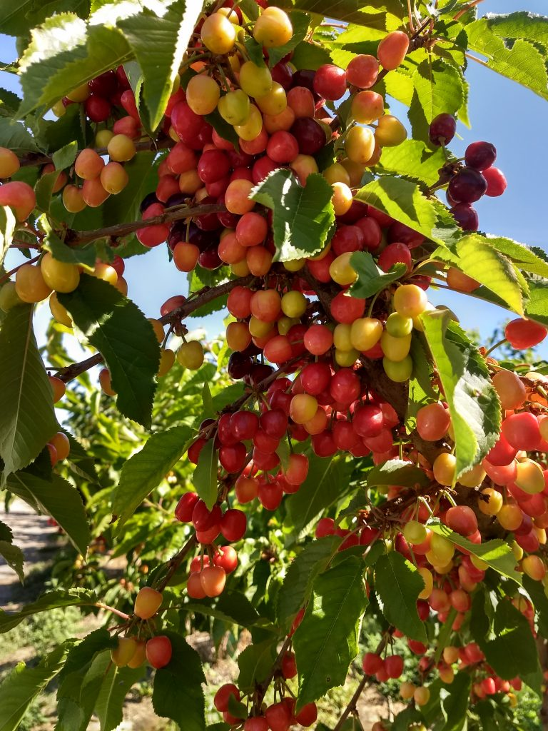 Tree branches bearing large numbers of small, red as well as pale cherries.