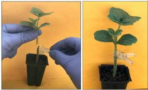 A scientist splice grafts young green watermelon seedlings.