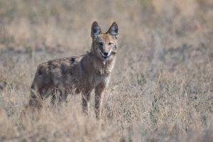 Coyote standing in a brown, grassy field